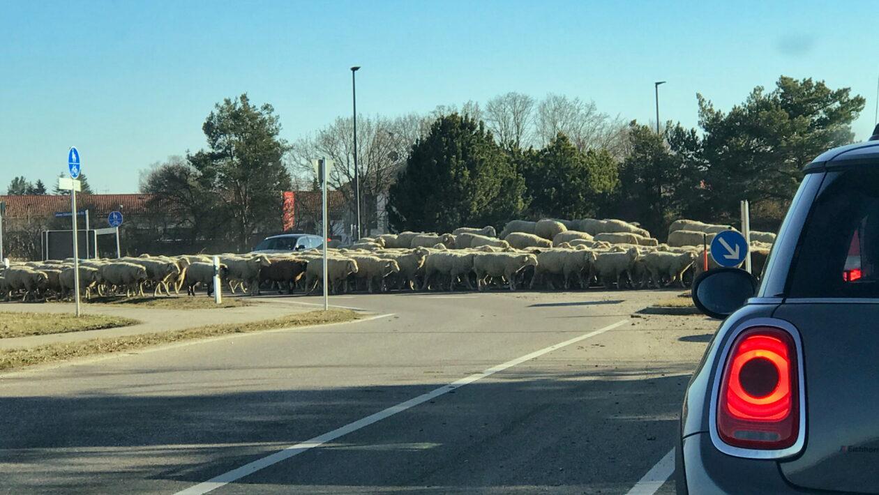 Schafe in Vaterstetten